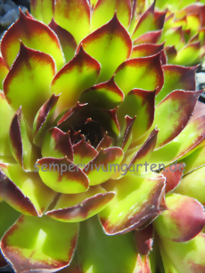 Sempervivum Luminosity