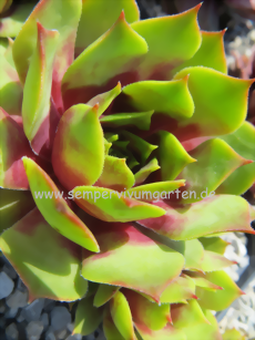 Sempervivum Magic Morning - Dachwurz