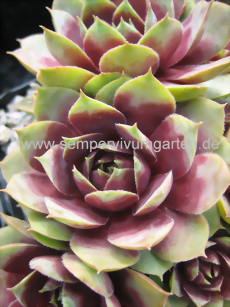 Sempervivum Mickey Mouse – Sempervivum calcareum - Dachwurz