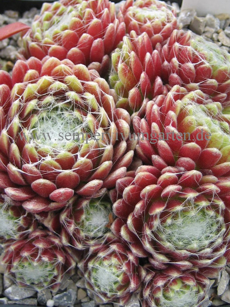 Sempervivum Mona Lisa - Hauswurz