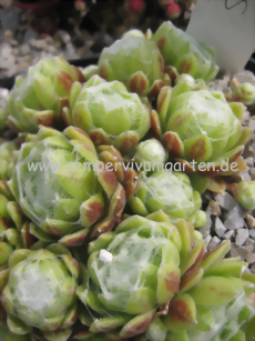 Sempervivum Moondrops - Dachwurz