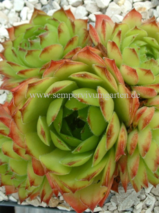 Sempervivum Neagus De Light - Hauswurz