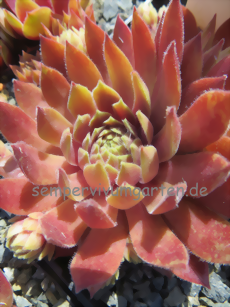 Sempervivum Nowlle