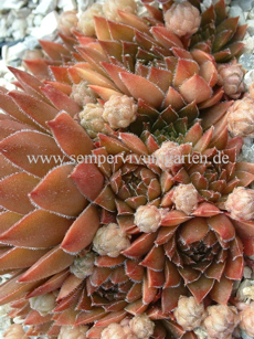 Sempervivum Old Rose - Hauswurz