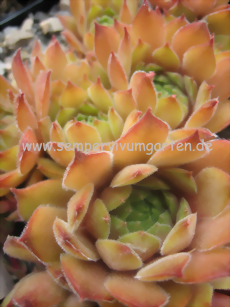 Sempervivum Orange Button - Hauswurz