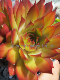 Sempervivum Orange Glow