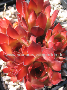 Sempervivum Orange Perfection - Dachwurz