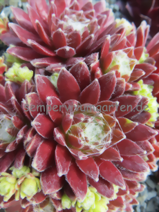 Sempervivum Oranje Team