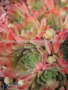 Sempervivum Pacific Magic Night - Dachwurz