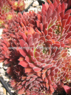 Sempervivum Pacific Red Tide - Dachwurz