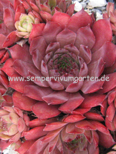 Sempervivum Peggy - Dachwurz