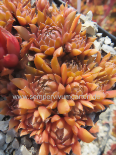 Sempervivum Pink Grapefruit - Hauswurz