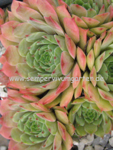 Sempervivum Pink Monique- Hauswurz
