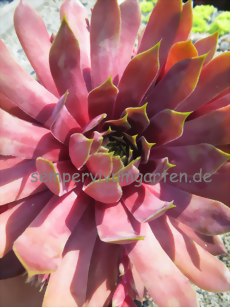 Sempervivum Pip