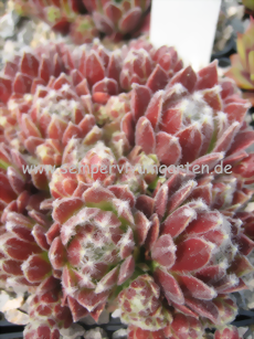 Sempervivum Poke Eat - Hauswurz