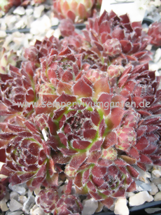 Sempervivum Princess Astrid - Hauswurz