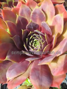 Sempervivum Raven Heart