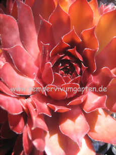 Sempervivum Rebell - Hauswurz