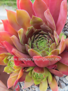 Sempervivum Rectonii - Hauswurz