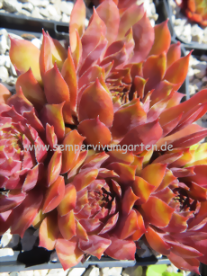 Sempervivum Red Platter - Hauswurz