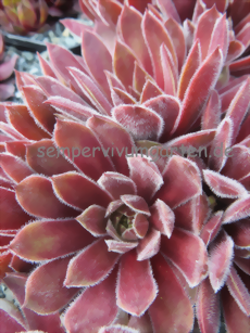 Sempervivum Rhubarb Crumble