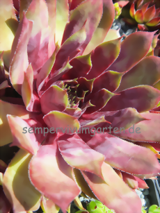 Sempervivum Rich and Fruity