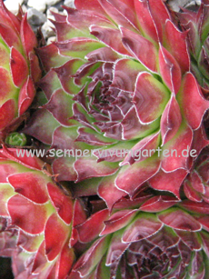 Sempervivum Rosty - Hauswurz