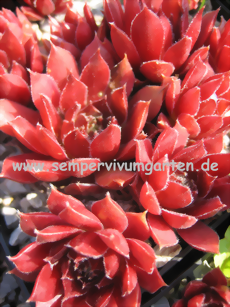 Sempervivum Sarafine - Dachwurz
