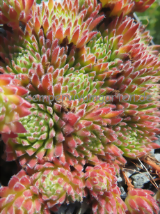 Sempervivum Sea Coral