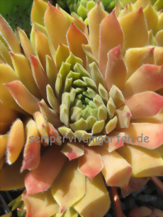 Sempervivum Shape Shifter