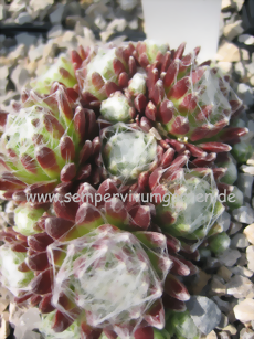 Sempervivum Snow Ideal - Hauswurz