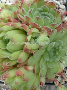 Sempervivum Soft Line - Dachwurz
