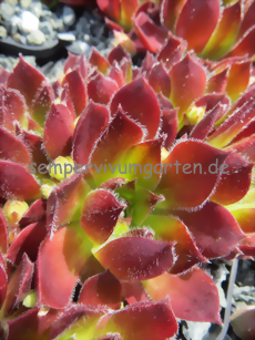 Sempervivum Sojara