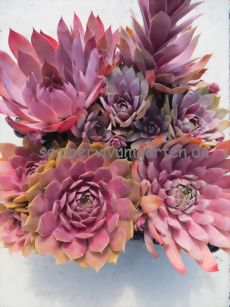 Sempervivum - Summer of Love - Sortiment