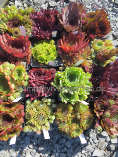 Sempervivum - Sue Thomas -Sortiment