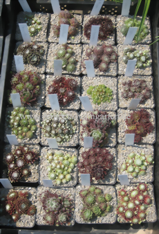 "25 Sempervivum ""Spinnweb-Topf - Mix"" - Wurzelware"