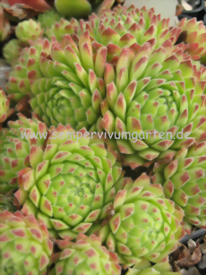 Sempervivum Spring Song - Hauswurz