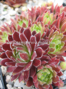 Sempervivum Strawberry Sundae - Dachwurz