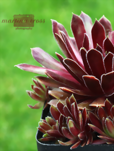 Sempervivum Summer Symphony