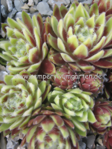 Sempervivum Sunburst - Hauswurz