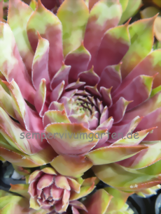 Sempervivum Sunray Goliath