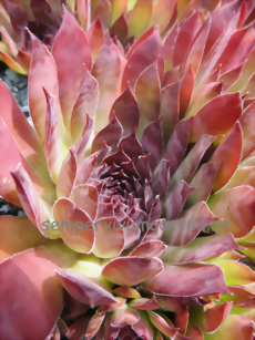 Sempervivum Sunray Sensation