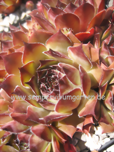 Sempervivum Sweet Brown Sugar - Dachwurz
