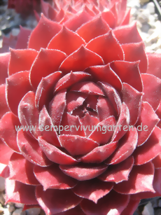 Sempervivum Sweet Irish