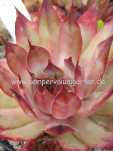 Sempervivum The Beatles - Hauswurz