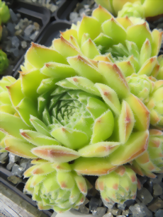 Sempervivum Thomyris