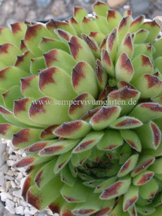 Sempervivum Tour De Force A - Hauswurz