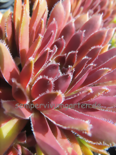 Sempervivum Trinket