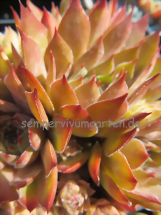 Sempervivum Walnut Toffee