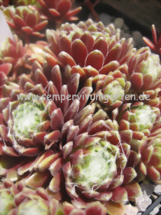 Sempervivum White Bouquet - Hauswurz